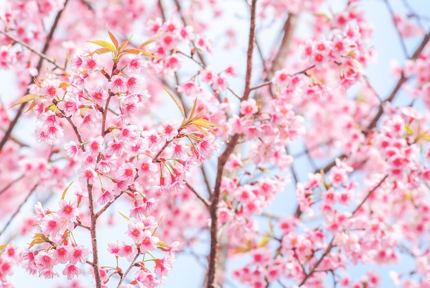 Spring time with beautiful cherry blossoms