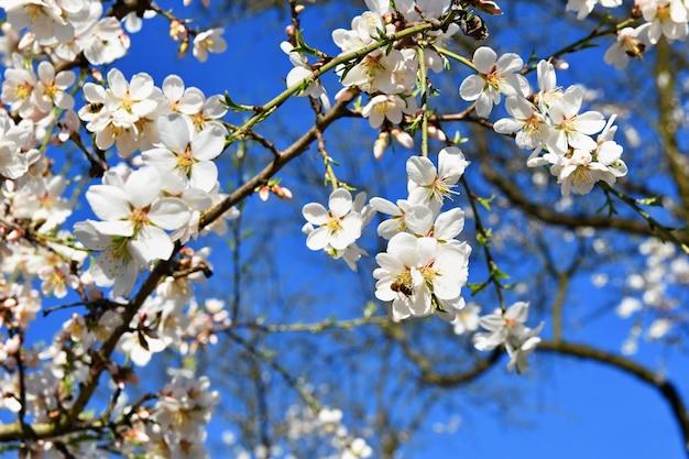 봄 나무. 아름다운 꽃 아몬드.