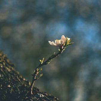 봄 나무. 아름다운 꽃 아몬드. 프리미엄 사진