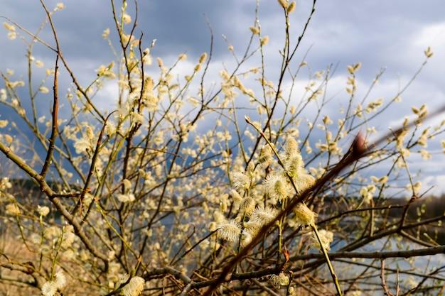 青い空を背景に、春の木々が湖に映っています。開花ネコヤナギイースター小枝。高品質の写真