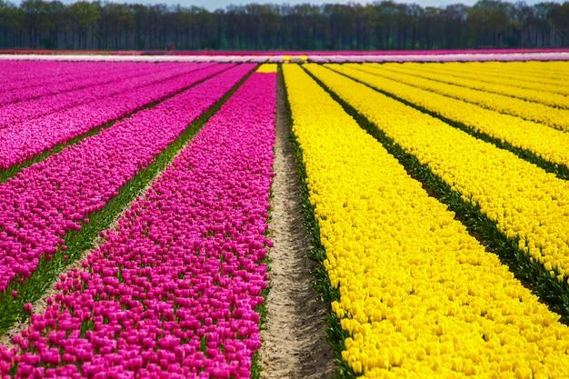 オランダの春のチューリップ畑、オランダの春の色とりどりの花