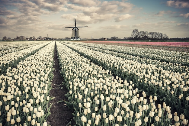 Spring tulip flowers field and windmill on traditional holland vintage landscape, traveling place. cultivation of tulips, beautiful country for travel. film filter