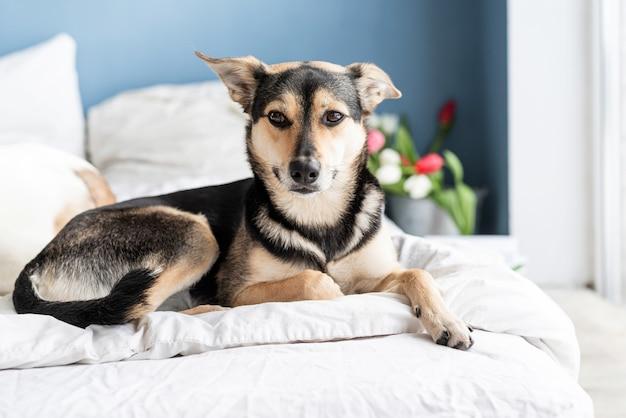 Весенние тюльпаны и собака на кровати. милая собака смешанных пород, лежа на кровати с тюльпанами