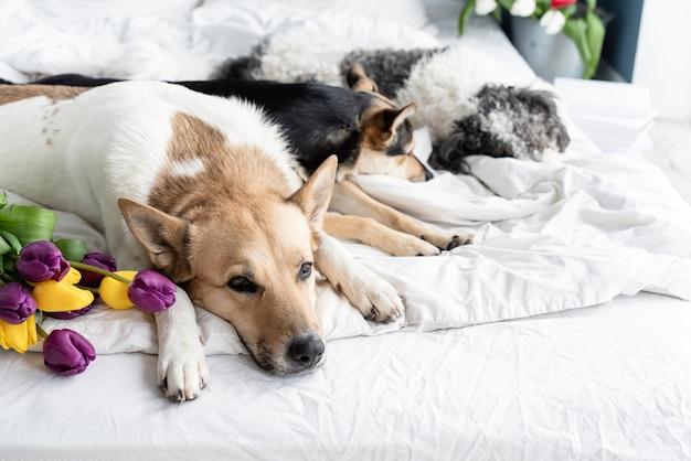 Весенние тюльпаны и собаки в постели. милая группа собак смешанных пород, лежащих на кровати с тюльпанами