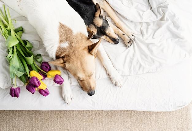 Весенние тюльпаны и собаки в постели. симпатичные смешанные породы собак, лежа на кровати с тюльпанами