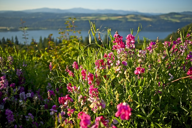 Spring vetch wildflowers