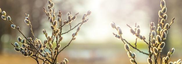 Весенний вид с цветущими ветвями ивы у реки в нежных весенних тонах, панорама
