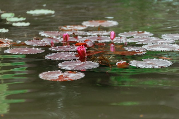 Spring water lily