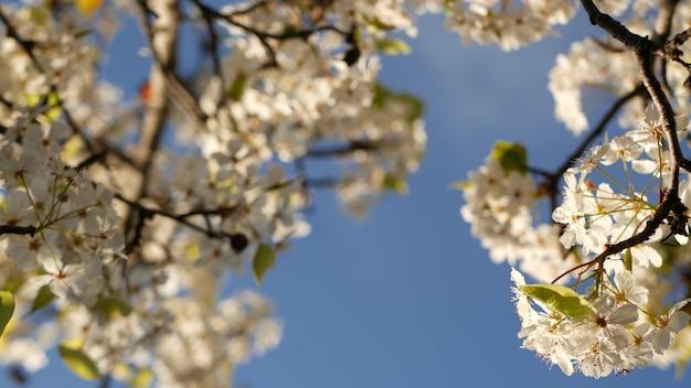 Весенний белый цветок вишни, калифорния, сша, парк бальбоа. нежные нежные цветы сакуры груши, яблони или абрикоса. весенняя свежая романтическая атмосфера, чистое ботаническое цветение с мягким фокусом боке