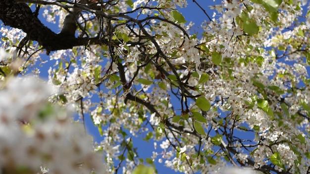 Весенний белый цветок вишни, калифорния, сша. нежные нежные цветы сакуры груши, яблони или абрикоса. весенняя свежая романтическая атмосфера, чистое ботаническое цветение, мягкое боке.