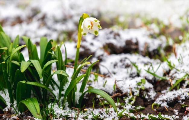 Весенний белый цветок (leucojum vernum) среди талого снега ранней весной