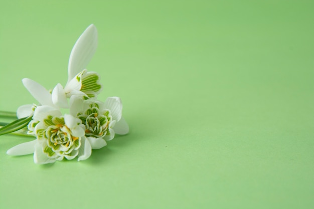 Spring white snowdrop flowers over green background. copy space.