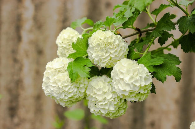 木に咲く春の白いガマズミ属の木