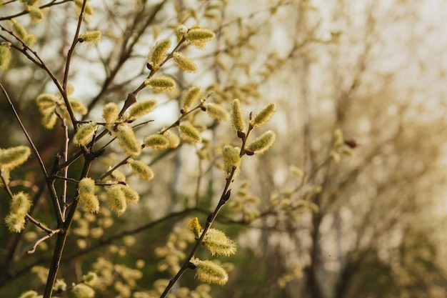Spring willow twigs. blooming willow