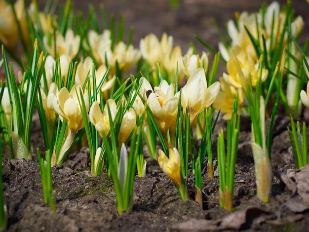 庭には春の黄色いクロッカスが咲いています。