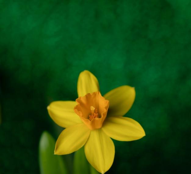 Весенний желтый нарцисс на темно-зеленом фоне.