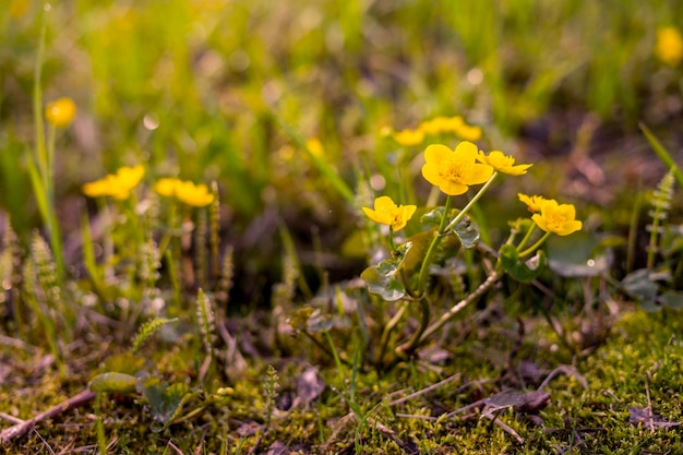Весенние желтые цветы крупным планом
