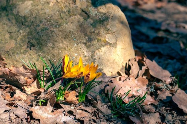 Весной желтые цветы крокусы крупным планом растут в листве в лесу у камня.