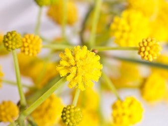 Spring yellow flowers of mimosa.