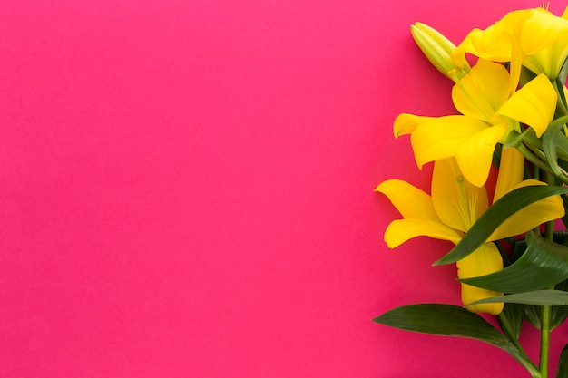 Spring yellow fresh lily flowers over pink backdrop