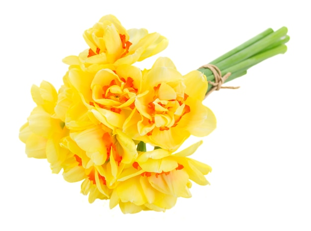 白い背景で隔離の春黄色の水仙の花