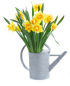 Spring yellow narcissus in gray watering can isolated on white background