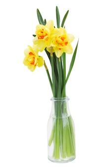 白い背景で隔離の春の黄色い水仙
