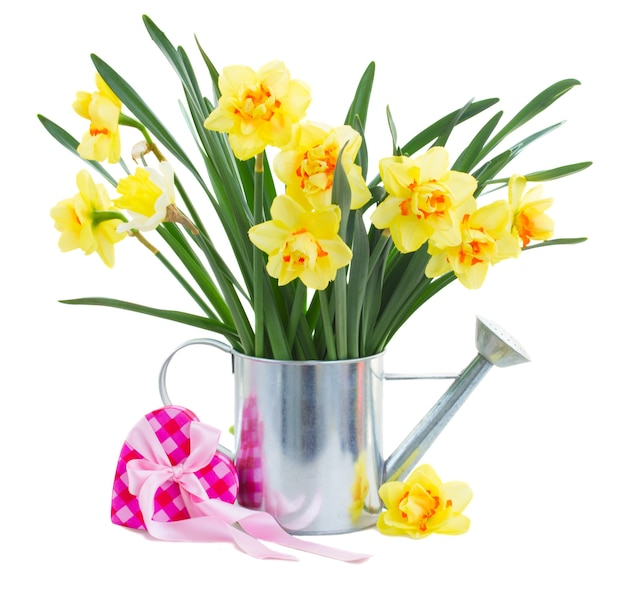 Spring yellow narcissus in watering can with pink gift box isolated on white background