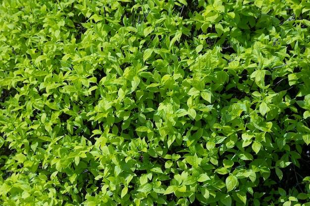 雨の後の水滴のある春の若葉。ナチュラルグリーンの壁。セレクティブ フォーカス