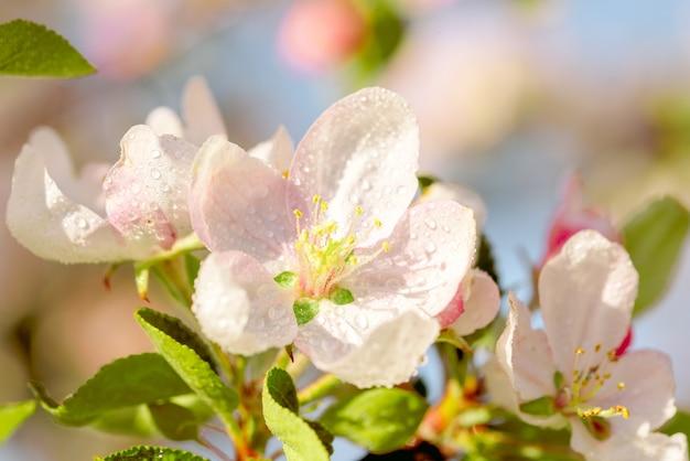 Весной цветение яблони против яркого голубого неба.