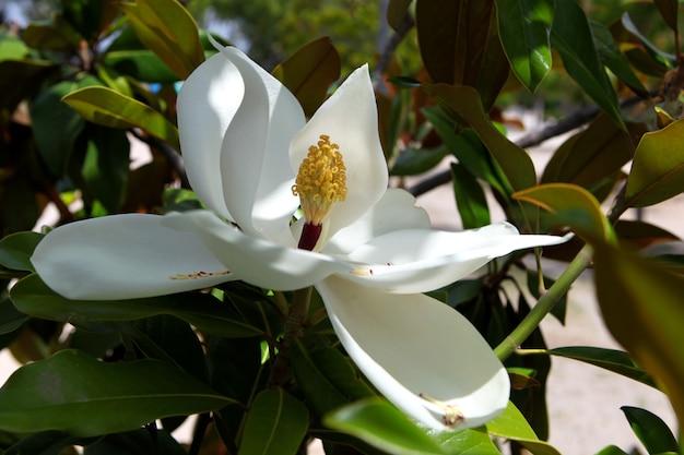 목련 나무의 봄 분기 흰 꽃과 목련 grandiflora
