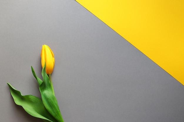 春のコンセプトトレンディな黄灰色の背景に黄色のチューリップの花コピースペースの最小限のデザイン Premium写真