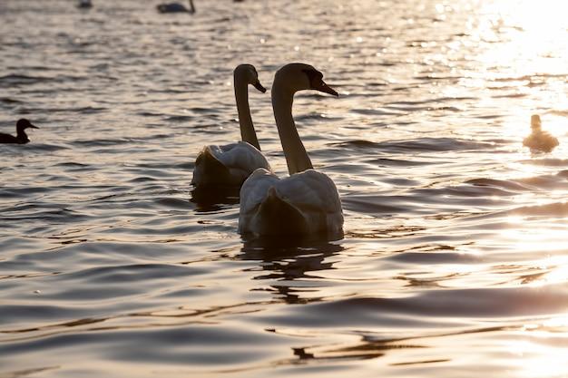 백조 가족과 함께 호수의 봄날