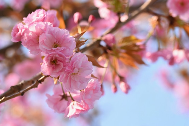 Springtime. красивые цветочные весной абстрактного фона природы. цветущие ветви деревьев для sp