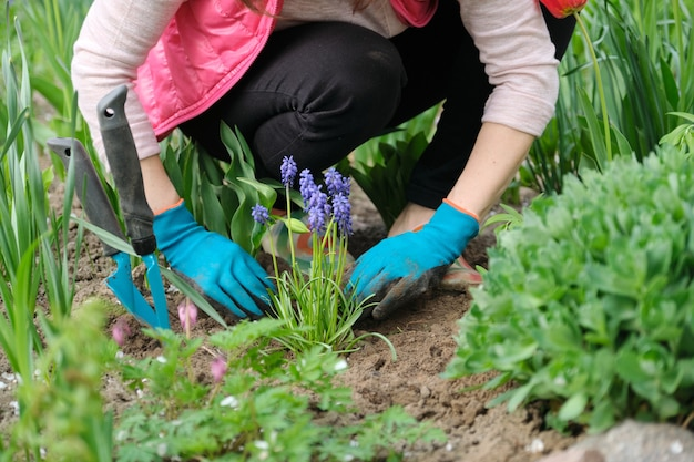 春、春の季節のガーデニング。土壌を処理し、青いムスカリの花を栽培する園芸工具を持った女性の手若い緑の植物とムスカリ