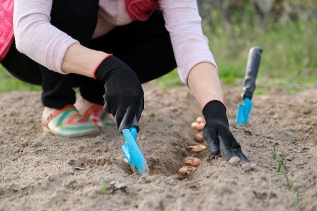 春の春の季節の仕事、球根グラジオラスの栽培土壌に植える