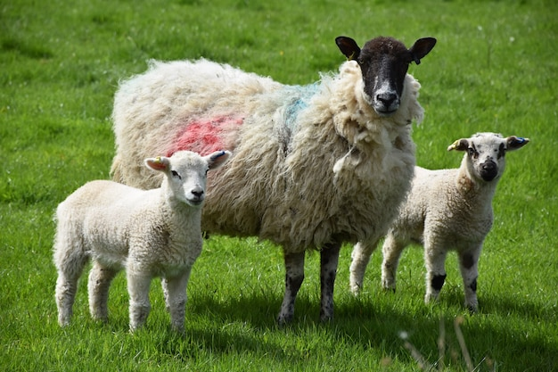 들판에 귀여운 양 가족이 서 있는 봄날.