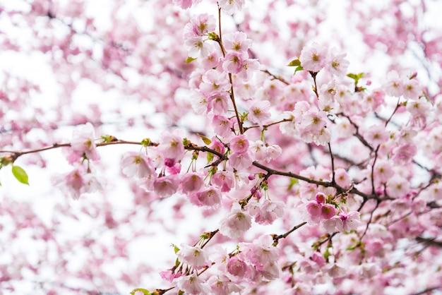 Время опрыскивания, ветка цветов сакуры