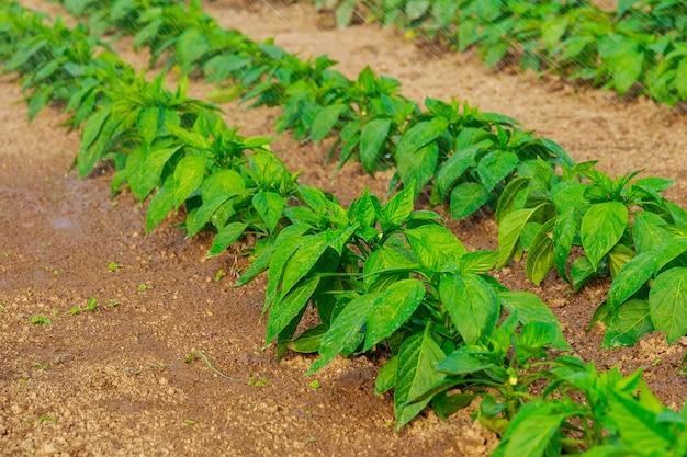 온실에 물로 고추를 뿌린다. 초봄에 달콤한 고추 재배. 소프트 포커스