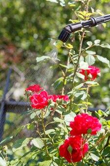 Опрыскивание кустов красных роз. защита розовых растений от грибковых заболеваний или паразитов с помощью опрыскивателя в саду