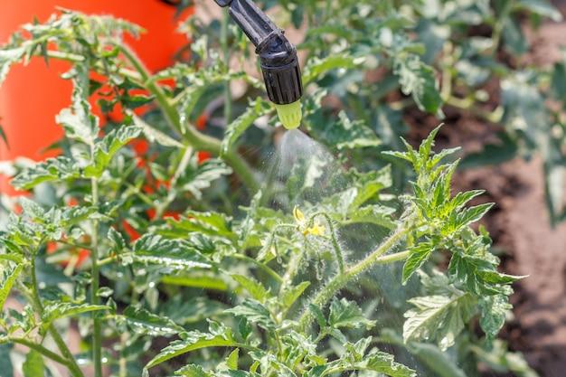토마토 덤불 뿌리기. 정원에 있는 압력 분무기로 곰팡이 질병이나 해충으로부터 토마토 식물 보호