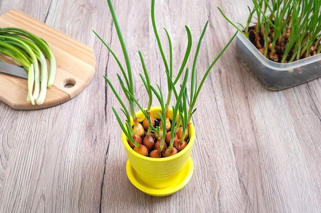 노란색 세라믹 냄비에 새싹. 집에서 성장하는 녹색 샬롯. 유기농 채소 식물