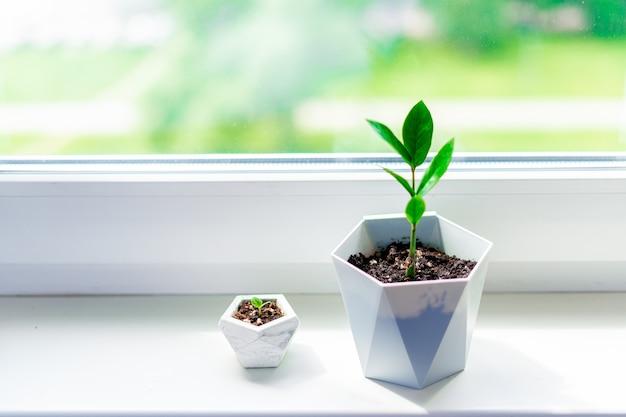 大小のザミオクルカスの家の植物の芽が窓辺に立っています