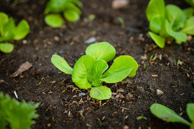 재배 야채의 새싹은 안전을 위해 뒷마당에 정원을 심습니다.