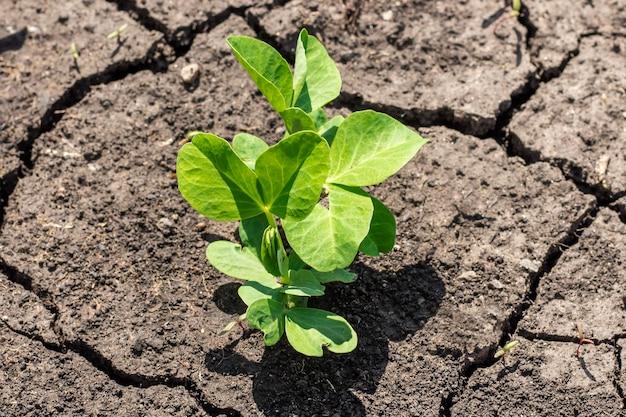 ベッドの上にエンドウ豆を発芽させます。乾いた土を背景に