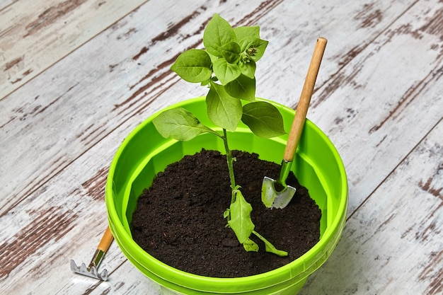 Sprout of a petunia flower in green pot against the background of a gardening tools. balcony flower