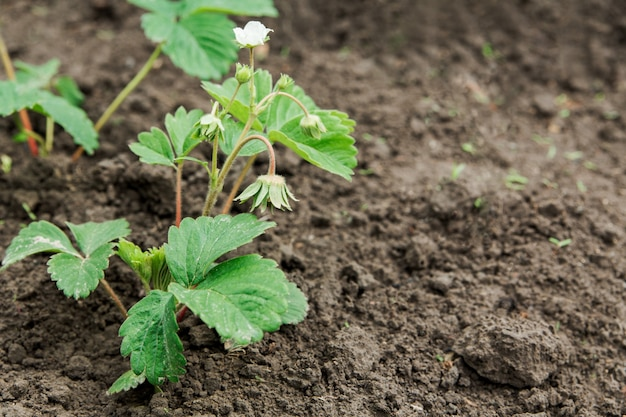 Sprout of young strawberries in the ground.
