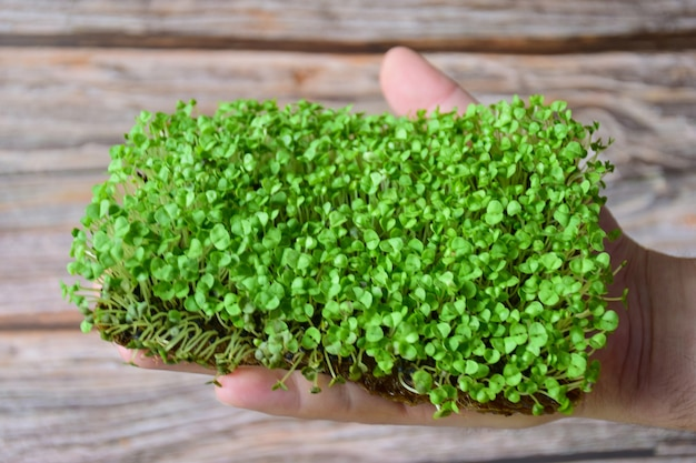 Sprouted decorative greenery microgreen in profile on the palm on a background of wooden boards. greens are not cut, but in the soil. above is an empty space for an inscription