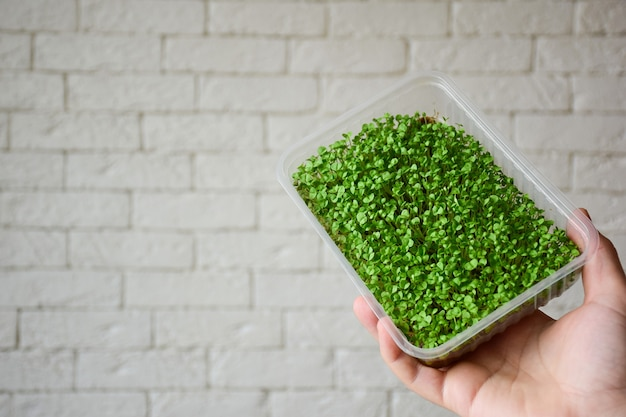 Sprouted decorative greens basil microgreen in a plastic box in the palm of your hand against a background of a brick wall. greens in the soil.