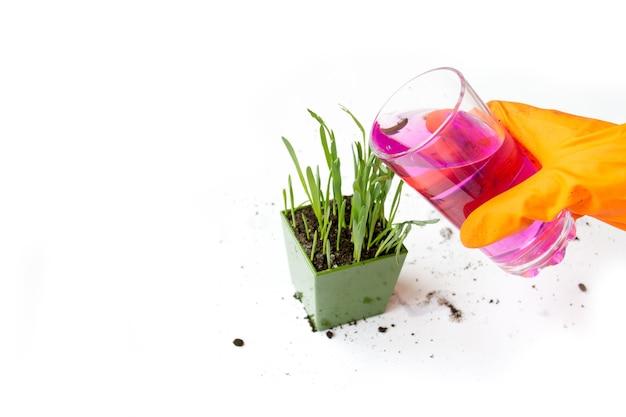 싹이 트는 푸른 잔디, 귀리. 비료 용액으로 화분에 물주기. 유리에 분홍색 액체.